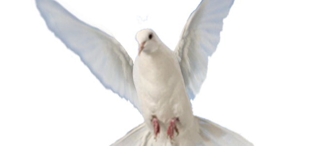 Porumbel alb